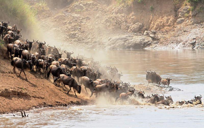 Wildebeest migration through river